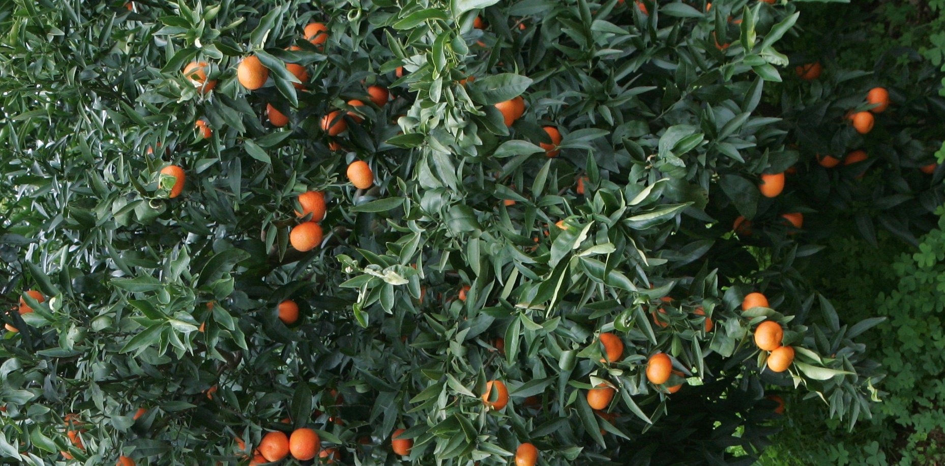 Agrumicoltura della provincia di Taranto in grave crisi