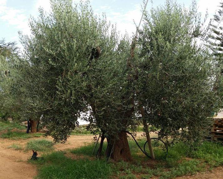 Xylella fastidiosa: si sposta il fronte verso il nord della Puglia