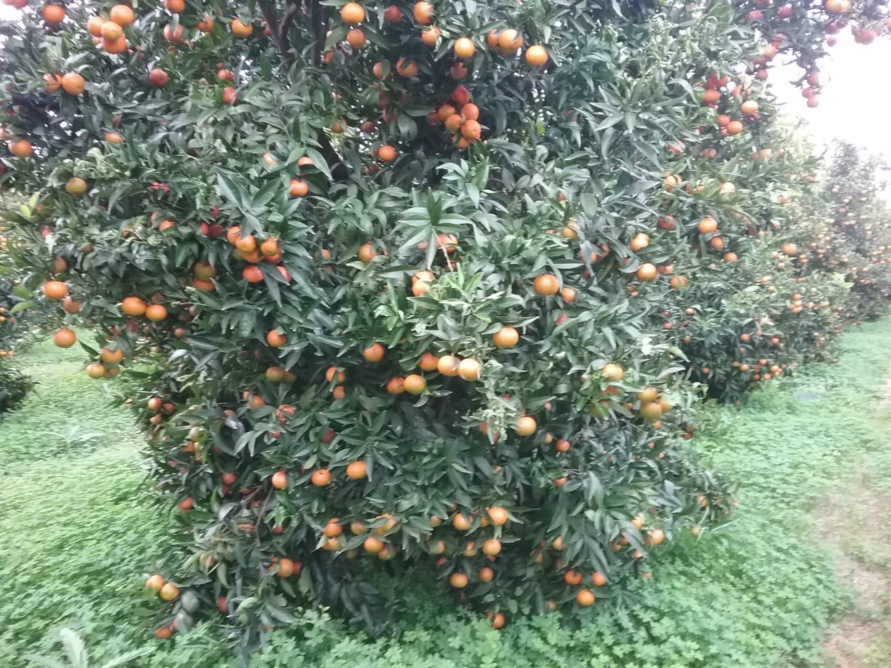 Con il Covid, è crac agrumi a Taranto e provincia per consumi in caduta libera. In campagna clementine a 15 centesimi al chilo