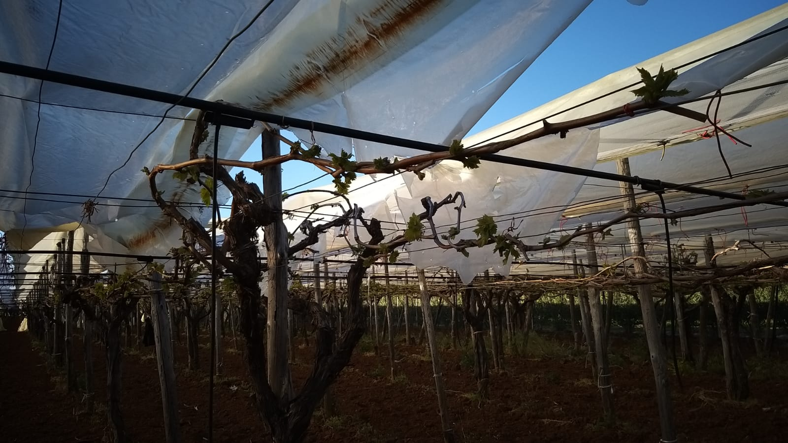 Il vento e la grandine danneggiano le coperture nei vigneti pugliesi