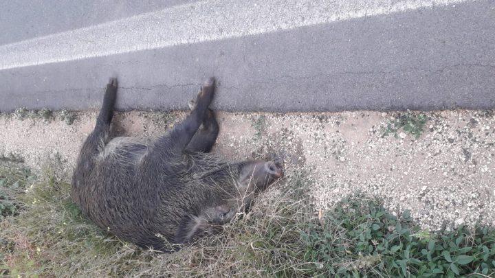 Taranto, un altro incidente provocato da un cinghiale